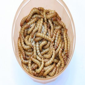 Levende Meelwormen Groot 1 kilo