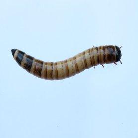 Morio wormen 250 gram