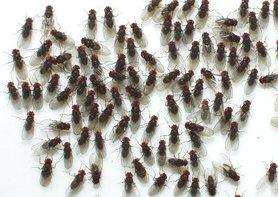 Fruitvliegen Groot ( Drosophila hydei )