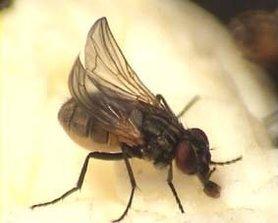 Krulvliegen Bakje ( Musca domestica )