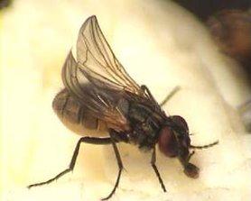 Krulvliegen per Liter ( Musca domestica )