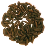 Nutri-Grub Middel 1 kilo (Black soldier larvae)