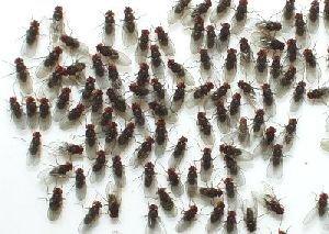 Fruitvliegen Klein ( Drosophila melanogaster )