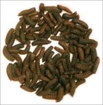 Nutri-Grub Middel 0,5 kilo (Black soldier larvae)